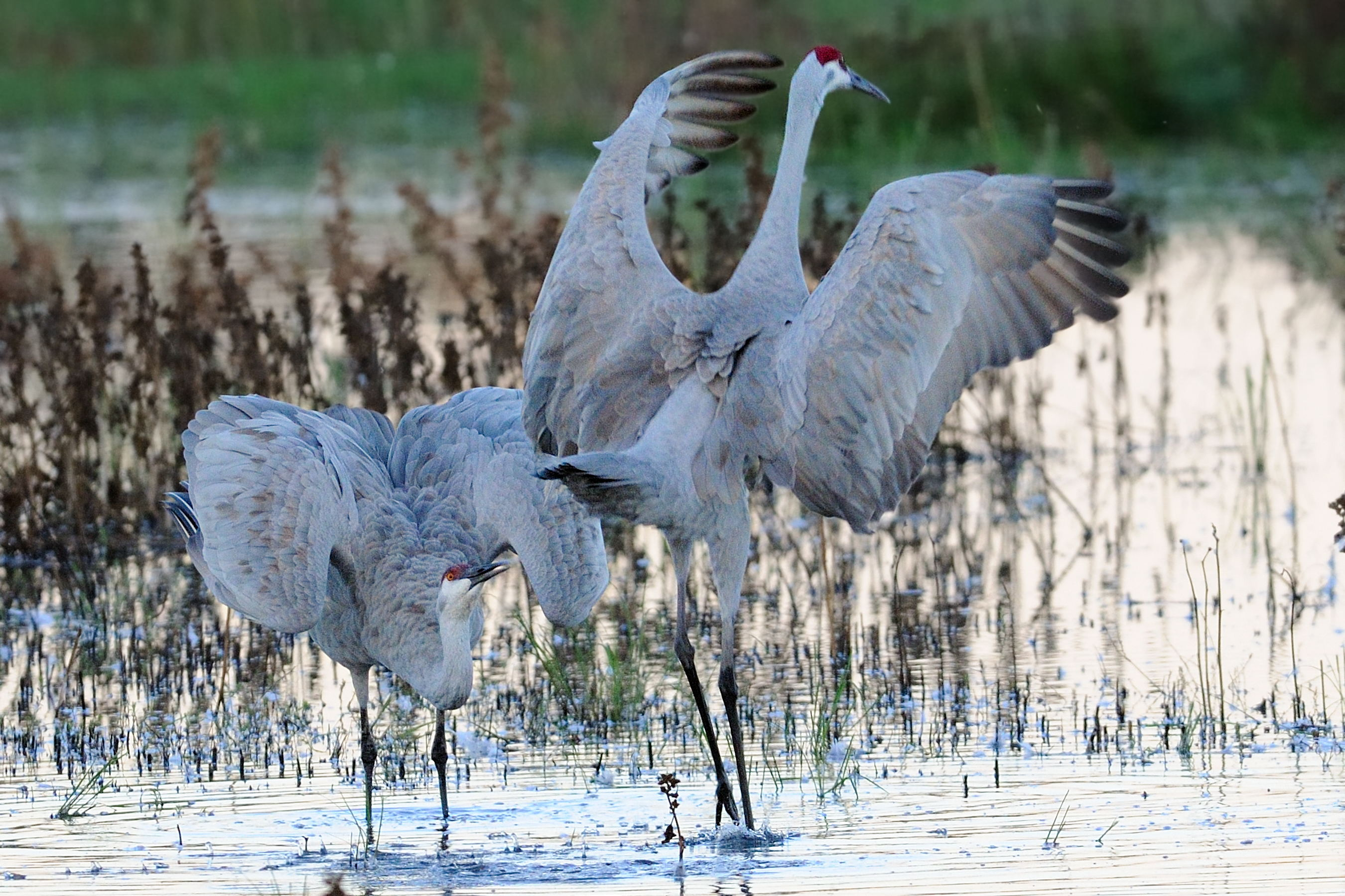 Sos Cranesupcoming Free Sandhill Crane Viewing Tours Sos